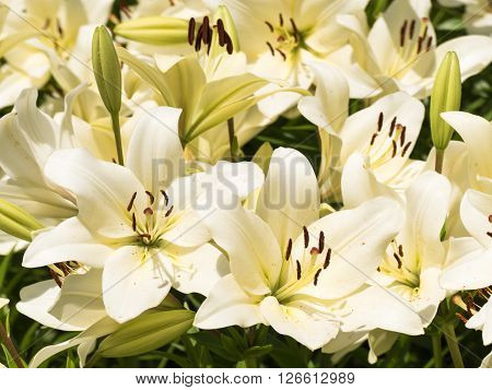 Flower of the beautiful lily which colors summer.