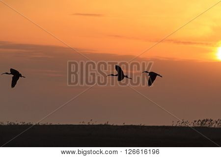 ibises flying at sunset, three birds flying in the sky orange