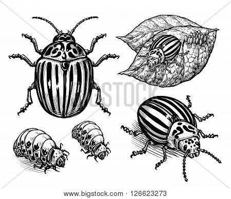 hand drawn vector illustration colorado potato beetle isolated on white background