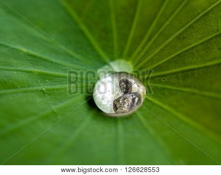Drops of water rolling water on a lotus leaf. focus to Budda in water drop.(LOTUS EFFECT).