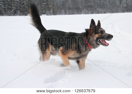East European Shepherd in nature on a sunny day in winter