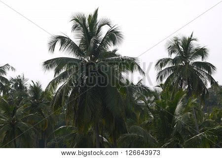 The rainforest consisting of coconut and date palm trees
