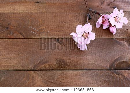 Beautiful pink blossom on old wood background.