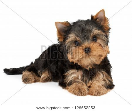 One puppy of the Yorkshire Terrier tilted head on white