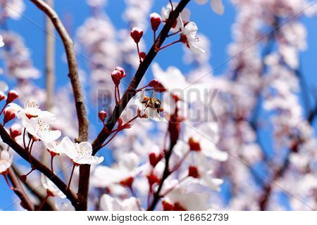 clear blue sky background and a bee on spring blossoms
