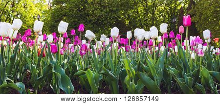 Tulips in the flower bed nature background