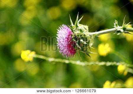 A beautiful purple thistle in green background