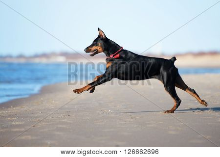 black doberman dog playing on a beach