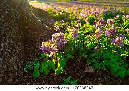 Blossoming flowers of Corydalis halleri near the tree roots in the forest. Spring colorful landscape. Selective focus at the central flowers. Shallow depth of field.