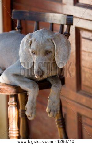 Dog Weimaraner