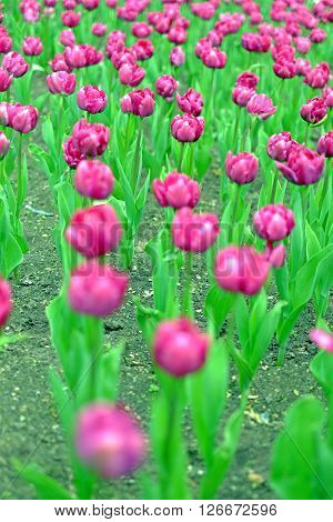 Fower bed of pink tulips flowers greenery park