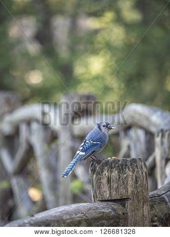 blue jay Cyanocitta cristata is a passerine bird in the family Corvida