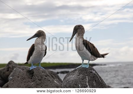 Blue-footed booby on the rocks in Galapagos islands
