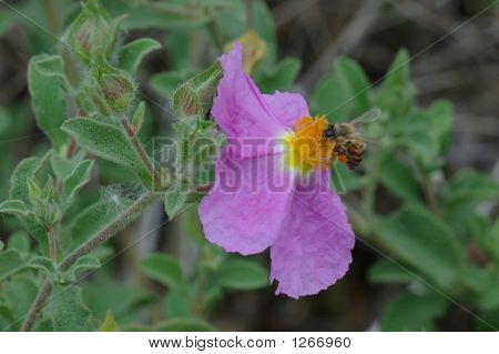 Rock Rose With Bee 2