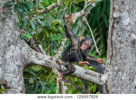 The Kid Of A Chimpanzee. The Kid Of A Chimpanzee Plays On The Tree. Chimpanzees (sometimes Called Ch