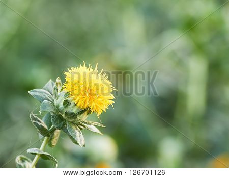 Close up of blooming safflower in garden