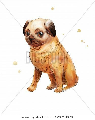 Pug picture. Watercolor drawing of pug isolated on white. Sketch of brown pug.
