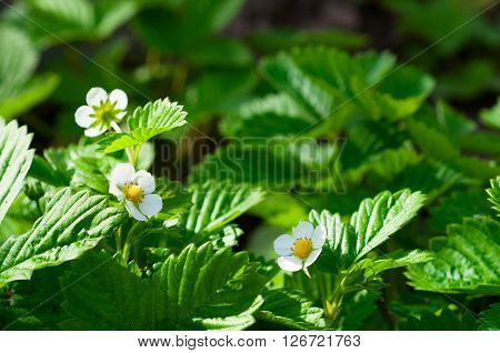 Close up of strawberry flowers in a garden