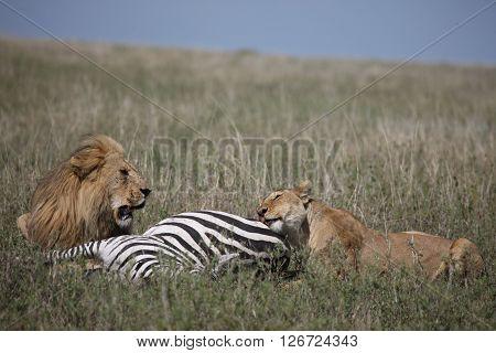 couple lion eating zebra wild dangerous mammal africa savannah Kenya