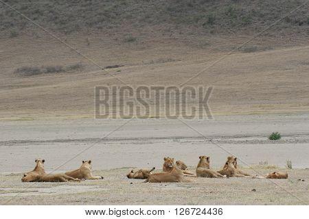 Lion Group Wild Dangerous Mammal Africa Savannah Kenya