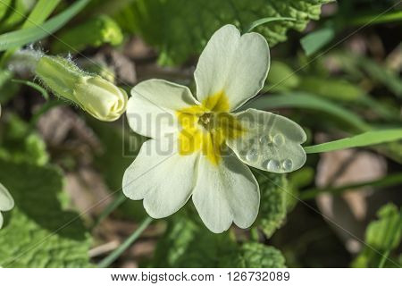 Wild primrose flower with dewdrops on a sunny Spring morning