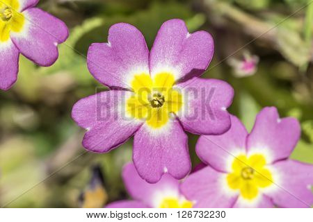 Wild primrose flowers on a sunny Spring day