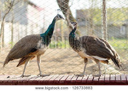 India Blue Peacocks