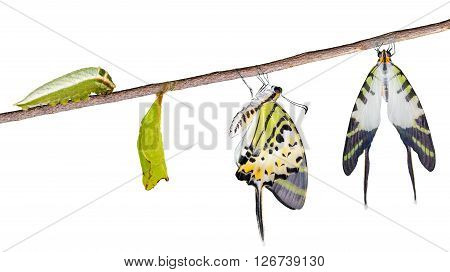 Isolated five bar swordtail butterfly life cycle