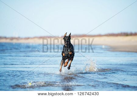 adorable doberman dog running on the beach