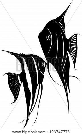 Angel fish,Pterophyllum species originate from the Amazon River