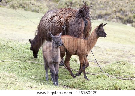Very often the use of llamas by farmers in the Ecuadorian highlands and around Zumbahua province of Cotopaxi Ecuador