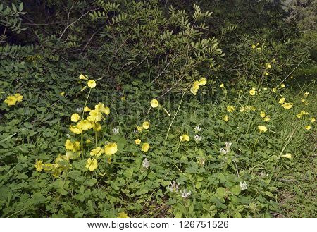 Bermuda Buttercup - Oxalis pes-caprae Widespread introduced flower in Cyprus