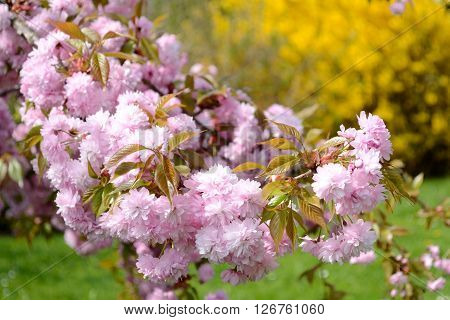 Japanese flowering cherry and forsythia in the background