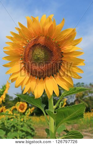 The Yellow Sunflower Garden in Thailand on Sunny day