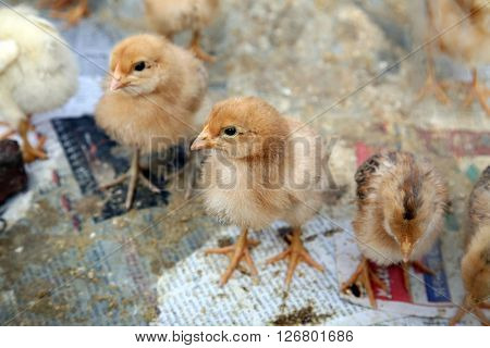 KUMROKHALI, INDIA - JANUARY 12: A baby chicken on the farm in Kumrokhali, West Bengal, India on January 12, 2009