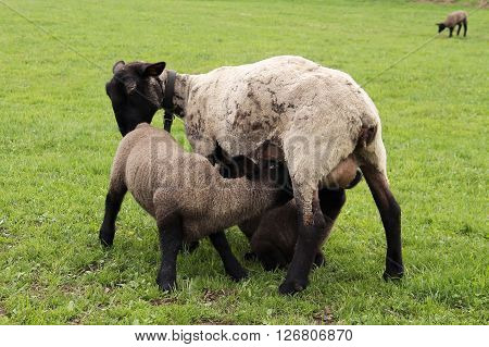 cute lambs suckling milk from their mother on the pasture