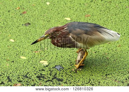 Pond heron fished at the marsh land