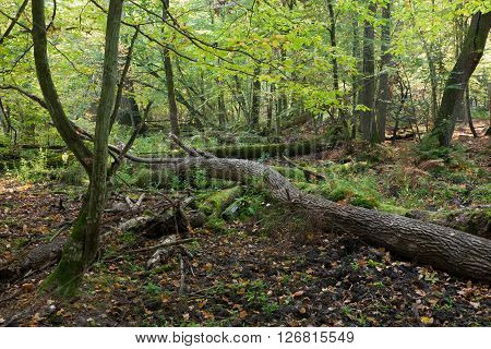 Old oak trees broken lying and sun above in autumnal ladscape of deciduous stand,Bialowieza Forest,Poland,Europe