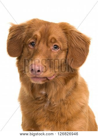 Nova Scotia duck tolling retriever portrait isolated on a white background