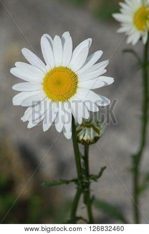 Ox-Eyed Daisy (Chrysanthemum leucanthemum) growing along a country roadway