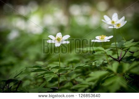 White Flowers Of Wood Anemone