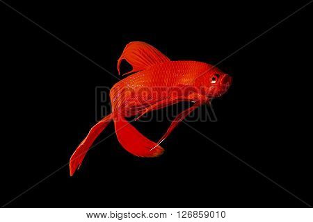 Red Siamese Fighting Fish (betta Splendens) Isolated On Black Background.
