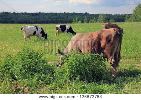 black and white and brown cows with horns graze in the picturesque rural meadow and forest view in background