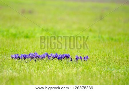 Violet wild iris is blossoming in steppe