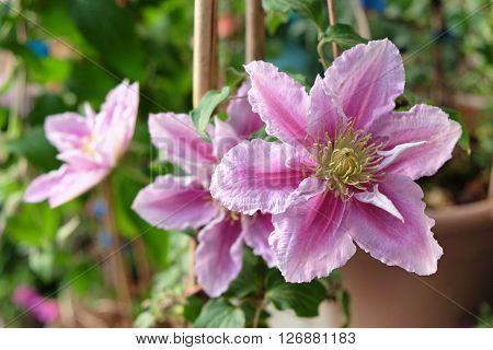 Decorative liana clematis blooms pink flowers in the garden