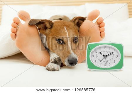 jack russell dog resting sleeping or having a siesta on bed in bedroom with a clock and owner