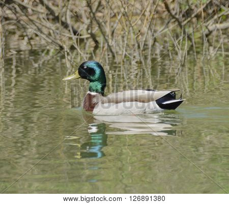 A male Mallard, (Anas platyrhynchos), a dabbling duck, swimming on a lake in York County Pennsylvania USA, shown in left profile.