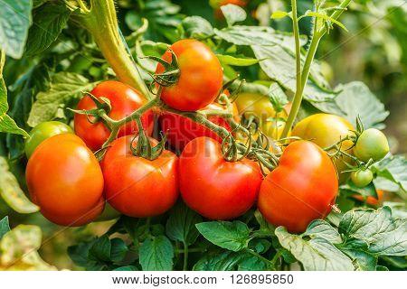 Ripe Tomato Cluster In Greenhouse