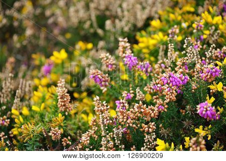 Heather And Yellow Gorse Flower Closeup In Brittany, France