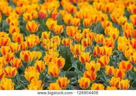 Red and orange tulips in full bloom during Spring